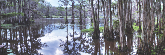 Caddo Lake Cypress