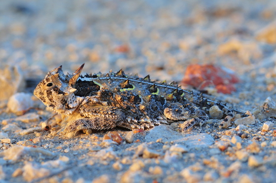 Texas Horned Lizard-TPWD-decline