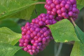 Round Top's Beauty Berry is a good native plant for color.