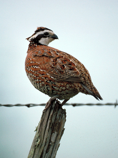 Bobwhite quail populations are declining across Texas.