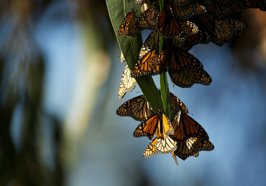science-based wildlife management monarch butterflies